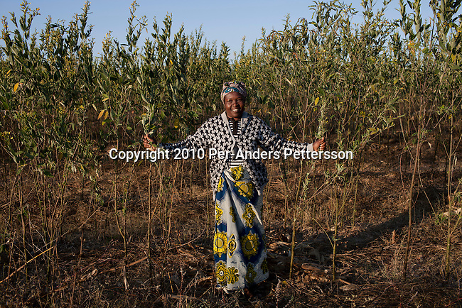 LUSAKA, ZAMBIA - JUNE 17: Annie Cuputa, and a farmer, grows trees (to make sticks) to be used for Cook stoves supplied by (CDM) Clean Development Mechanism on June 17, 2010, in Lusaka, Zambia. She walks in her fields. CDM is one of the mechanisms in article 12 in the Kyoto Protocol that allows industrial nations to meet their CO2 emission reduction targets by investment and transfer of sustainable technologies in development countries. In Zambia, Lusaka Sustainable Energy project , is providing house-holds with cook stoves, financed by RWE Power AG, the German power utility. The project in Zambia seeks to switch charcoal consuming households to sustainable harvested sticks of wood used for the cookers, and by doing that saving trees and the environment in Zambia. House-holds are save a substantial amount of money every month by not buying charcoal, which usually is a major cost for poor people in the country. (Photo by Per-Anders Pettersson/Getty Images)