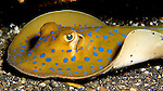 Dasyatis kuhlii, Bluespotted stingray, Indonesia