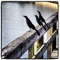 Blackbirds on a dock, Halifax River, Holly Hill, FL, iPhone photo from the instgram photo stream of bcpix, Florida-based freelance photographer Brian Cleary.  (Photo by Brian Cleary/ www.bcpix.com )