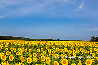 63801-07605 Sunflower field Sam Parr State Park Jasper County, IL