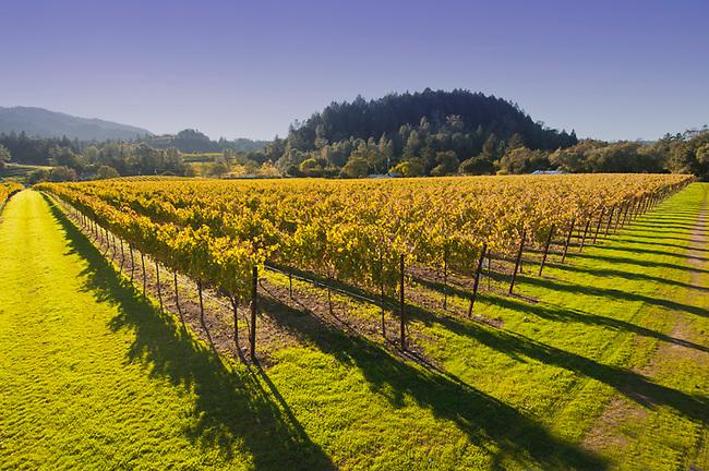 Autumn vineyard in Napa Valley