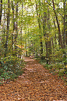 Path covered with dead leaves in forest at fall (Licence this image exclusively with Getty: http://www.gettyimages.com/detail/103933317 )
