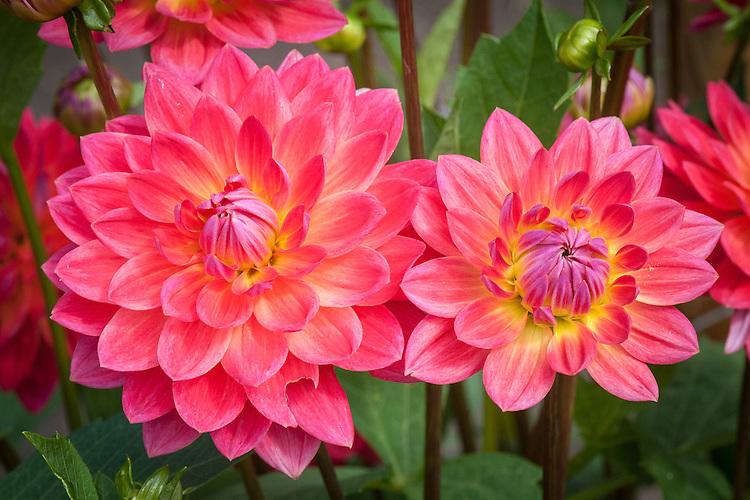 Dahlia 'Kilburn Rose', early September.