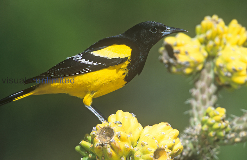 Male Scott's Oriole (Icterus parisorum) on Cholla cactus, Southwestern USA.