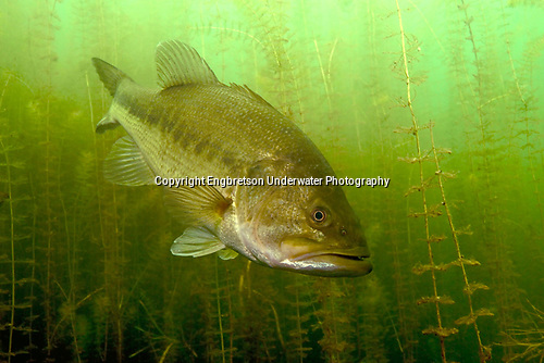 Largemouth Bass in Milfoil