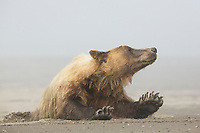 A grizzly bear wakes and stretches in Lake Clark National Park, Alaska.