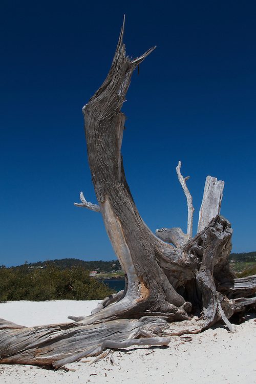 A weathered, but persistent, tree set against the shoreline of Carmel-By-The-Sea