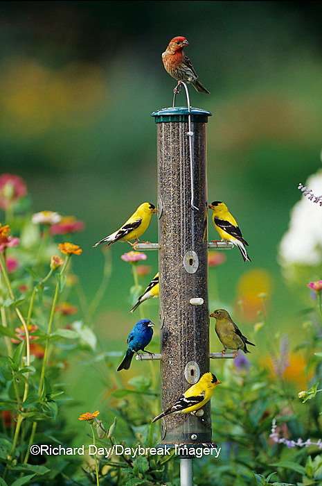 00585-01210 House Finch, American Goldfinches and Indigo Bunting on thistle feeder, Marion Co. IL