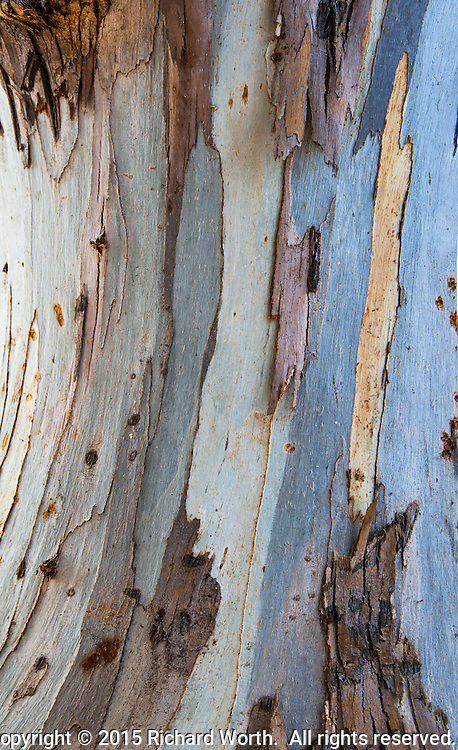 A close-up of the trunk of a eucalyptus tree where most of its bark has naturally peeled away revealing a landscape of beige and blue.  Five images stitched into a vertical panoramic image.
