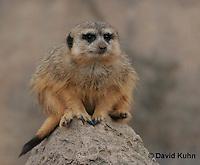 0214-08rr  Meerkat on Lookout, Suricata suricatta © David Kuhn/Dwight Kuhn Photography