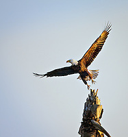 Bald Eagle taking off from Palm tree stump