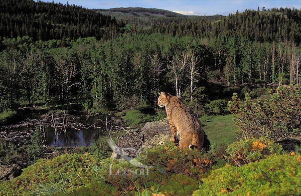 BOBCAT. Summer. Rocky Mountains. (Felis rufus).
