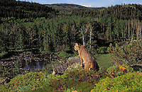 BOBCAT. Summer. Rocky Mountains. (Felis rufus).