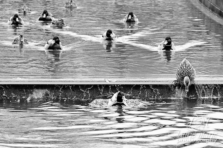 Mallard ducks in Bellevue's Downtown Park canal BW - crop