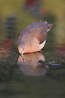 White-tipped Dove (Leptotila verreauxi), adult drinking, Dinero, Lake Corpus Christi, South Texas, USA