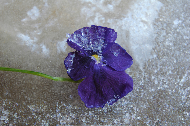 ICE DAY 12/8/05.VIOLET PANSIE WITH ICE.images of ice formations. ice storm hit dallas, texas. Forest hills..photo by Lili A Sams 7th grader at St. Thomas Aquinas School.Copyrighted photos by Lili A Sams  (214)361-2276