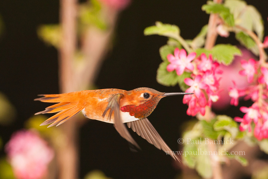 A Rufous Humminbird prepares to draw nectar from a Red-Flowering Currant.