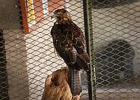 Aguila Real. Golden Eagle. <br /> Especies en cautiverio en el centro ecologico de Sonora