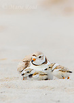 Piping Plover (Charadrius melodus), chick approaches brooding adult, Massachusetts coast, USA