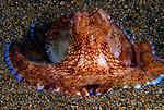 Coconut Octopus, Ampphioctopus marginatus