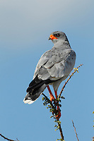 Perched Southern Pale Chanting Goshawk