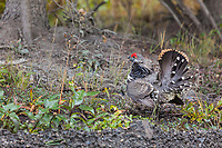 Male Spruce grouse doing a courtship display, Denali National Park, Interior, Alaska.