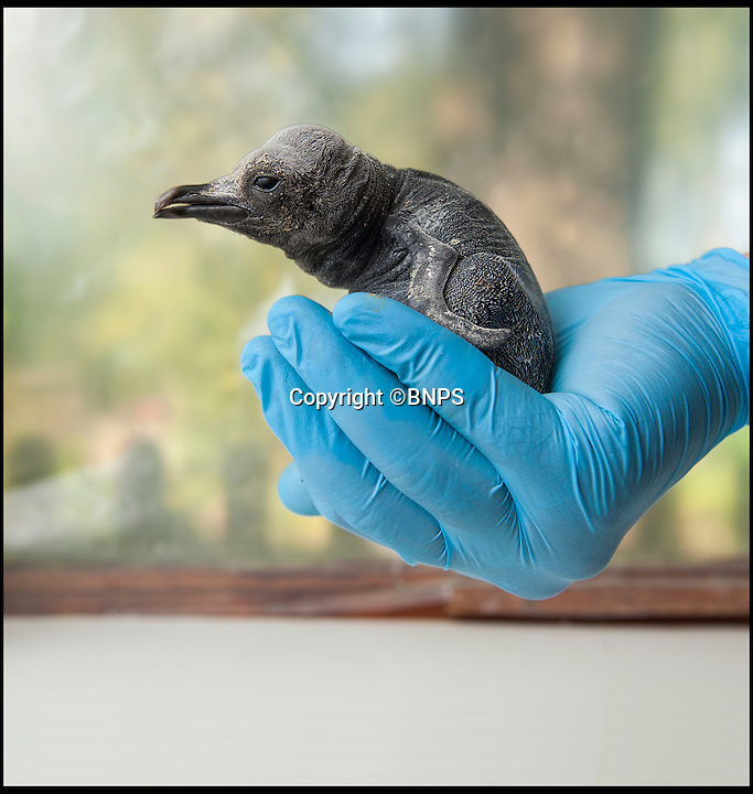 BNPS.co.uk (01202 558833)<br /> Pic: PhilYeomans/BNPS<br /> <br /> Who ate all the frys...the half pound chick. <br /> <br /> Britains only King penguin chick has undergone a remarkable transformation in just four months - ballooning from half a pound to a whopping stone and a half.<br /> <br /> The plummeting temperatures may be causing misery for people around Britain - but this supersized penguin chick is more than content in the big freeze thanks to its massive winter coat.<br /> <br /> The big ball of fluff is the first King penguin chick to be born in the UK in five years, and has gone from just a few inches tall to a staggering two and a half feet in a matter of months.<br /> <br /> It was weak, wrinkly and grey, unable to even stand on its own two feet when it was born at Birdland in Bourton on the Water, Glos, last September.<br /> <br /> But despite its growth spurt the huge chick still has to avoid the water untill its adult plumage come's through.