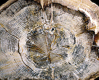 PETRIFIED WOOD FROM OREGON<br />