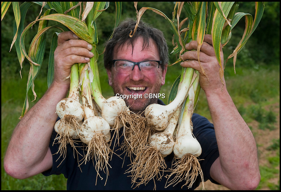 BNPS.co.uk (01202 558833)<br /> Pic: PhilYeomans/BNPS<br /> <br /> Britains biggest garlic grower is celebrating a jumbo sized crop of enormous Elephant garlic (Allium ampeloprasum) this year after the wet winter and hot spring have produced a bumper crop.<br /> <br /> And now as the dry spell continues Mark Botwright is working round the clock to harvest over 80,000 bulbs of his 13 tonne crop.<br /> <br /> Mark says 'I've never seen a crop like it in 17 years, if you'd told me in March that we would have such giant bulbs I would have been astounded'<br /> <br /> Mark is one of only two growers in the UK producing elephant garlic, with top chefs in London his main customers for the huge bulbs, over  three times the size of a normal clove.