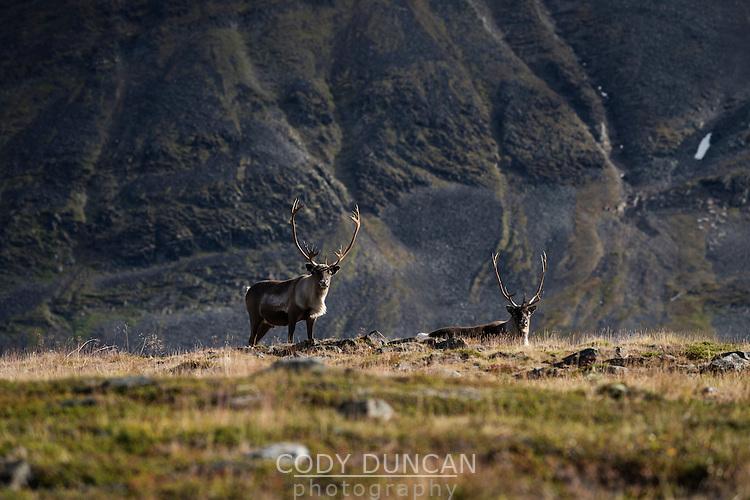 Reindeer against mountain landscape, Kungsleden trail, Lapland, Sweden
