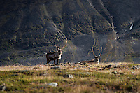 Reindeer against mountain landscape, Kungsleden trail, Lapland, Sweden