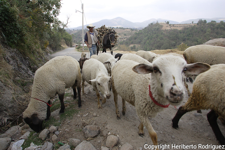 An old Mexican Native Nahnuh heads his sheeps in a rural road in Jiquipilco El Viejo, in western Mexico state, April 20, 2005. Photo by Heriberto Rodriguez