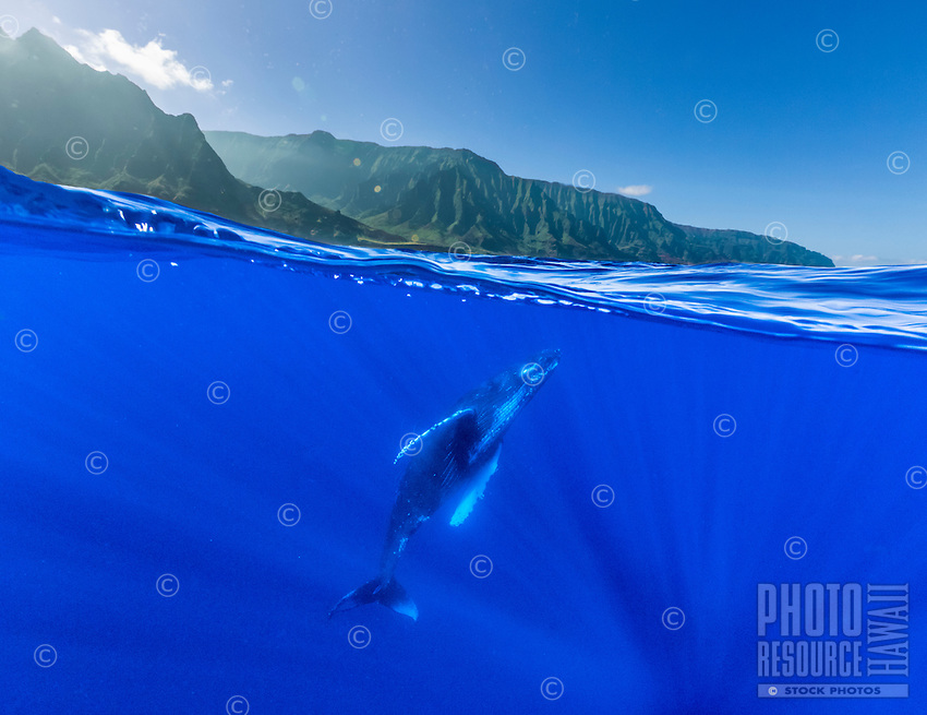 A humpback whale rises to the surface of the water off the Na Pali Coast of Kaua'i.