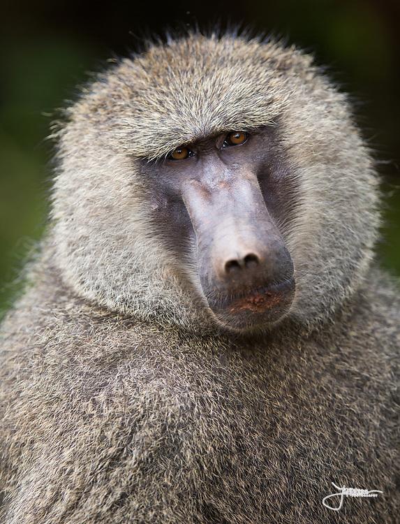 Baboon portrait