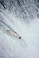 Silver salmon or coho salmon (Oncorhynchus kisutch)