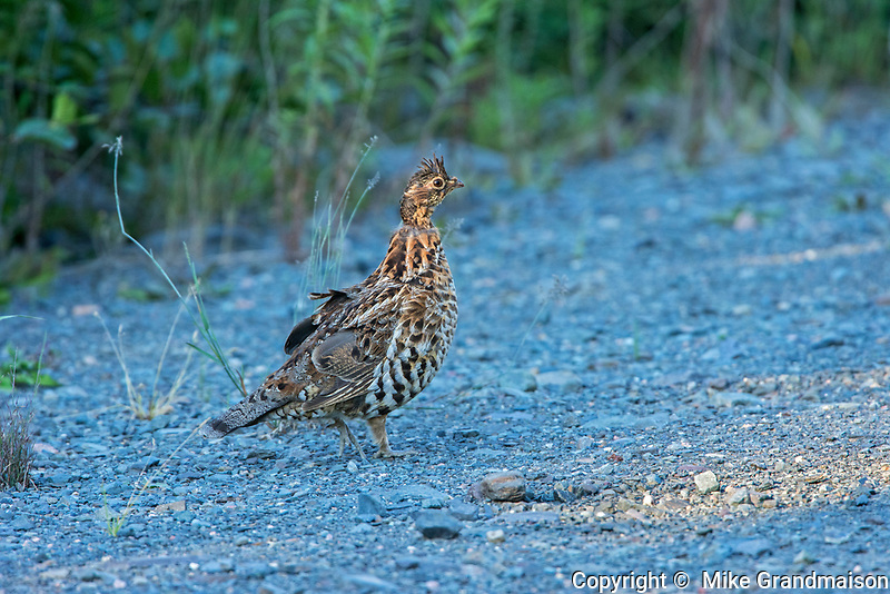 Ruffed grouse (Bonasa umbellus) on gravel road. This is a provincial park and not a true Canadian national park.<br />Quebec<br />Parc national de la Gaspésie<br />Canada