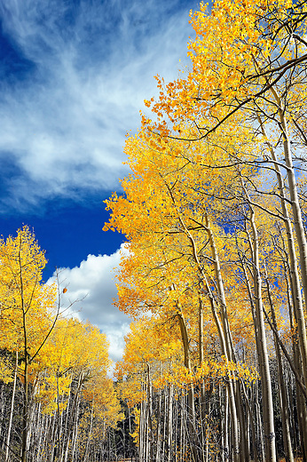 Grove of fall colored aspen trees and blue sky near Kenosha Pass, CO
