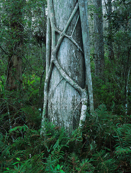 Cypress tree with strangler fig, Corkscrew Swamp Sanctuary, Florida, USA