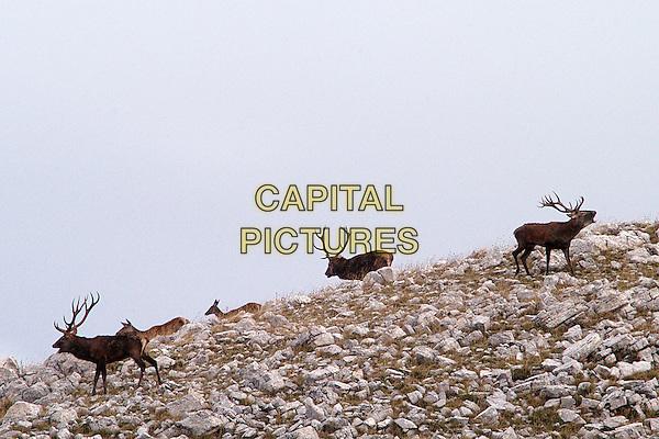 DEER.Parco Nazionale del Gran Sasso e Monti della Laga.Cervus elaphus stag antlers animal animals .CAP/CAV.©Luca Cavallari/Capital Pictures.