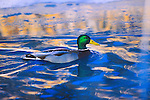 Mallard Drake on deep blue water with reflections