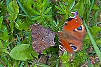 Tagpfauenauge, Balz, Tag-Pfauenauge, Aglais io, Inachis io, Nymphalis io, peacock moth, European peacock, peacock, peacock butterfly, Le Paon du jour