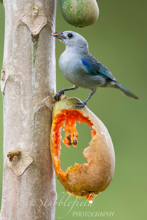 Blue-gray Tanager (Thraupis episcopus quaesita) feeding on a papaya.