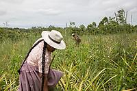 "Quechua female coca growers known as ""cocaleros"", harvest pineapples from the family crops, in Entre Rios, Chapare province, Bolivia. November 28, 2019.<br /> Des femmes quechua productrices de coca appelées ""cocaleros"", récoltent les ananas des cultures familiales, à Entre Rios, province du Chapare, Bolivie. 28 novembre 2019."