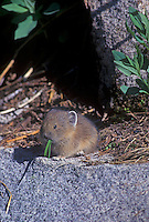 Young Pica eating grass, Mt. Rainier NP, Washington