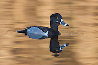 Ring-necked Duck (Aythya collaris) - Male while swimming on a golden colored lake reflection