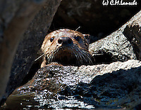 July 20, 2012<br /> <br /> Otter pup admiring my lens. Henry's Fork of the Snake River, Idaho. July 2012