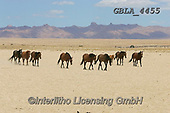 Bob, ANIMALS, REALISTISCHE TIERE, ANIMALES REALISTICOS, horses, photos+++++,GBLA4455,#a#, EVERYDAY