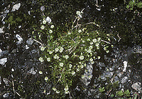ALPINE PEARLWORT Sagina saginoides (Height to 7cm) is a tufted perennial whose long-awned leaves form a basal rosette. The flowers comprise white petals and similarly sized sepals and are borne on slender stalks (Jun-Sep). The species is rare in the Socttish Highlands and on Skye.