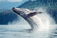 humpback whale breaching, Megaptera novaeangliae, Icy Strait, Southeast Alaska