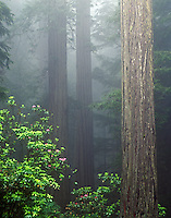 Rhododendrons Del Norte Redwoods State Park California